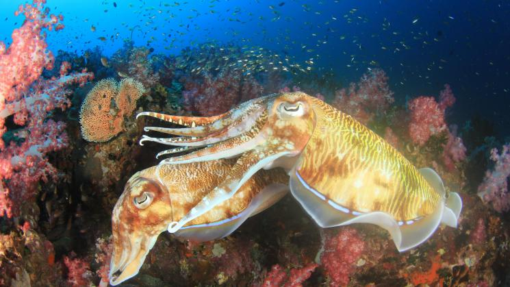Cuttlefish mating2